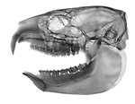 X-ray image of a hyrax skull and jaw (black on white) by Jim Wehtje, specialist in x-ray art and design images.