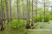 63895-14602 Bald Cypress trees (Taxodium distichum) Heron Pond Little Black Slough, Johnson Co. IL