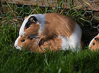 Guinea pigs mating ,Cavia porcellus), also called the cavy, Whitewell, Lancashire.