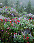 Mount Rainier National Park, WA:  Lupine, paintbrush and heather blooming among boulders enveloped by fog and mist in the meadows of Paradise