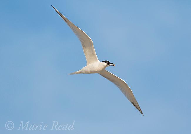Sandwich Tern (Sterna sandvicensis) adult in breeding plumage carrying fish in flight, Fort De Soto Park, Florida, USA