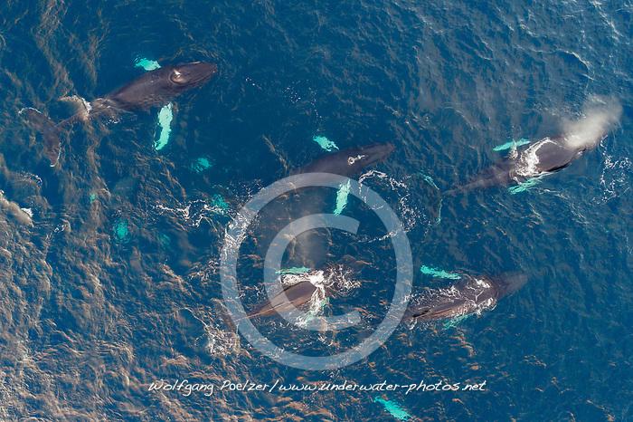 Luftaufnahme von einer Schule von Buckelwalen, Kvaloyvagen, Norwegen, Atlantik, Atlantischer Ozean / Aerial view of a shool of humpback whales, Norway, Atlantic Ocean