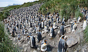 King Penguin (Aptenodytes patagonicus) breeding colony. Salisbury Plain, South Georgia, South Atlantic. (digitally stitched image)