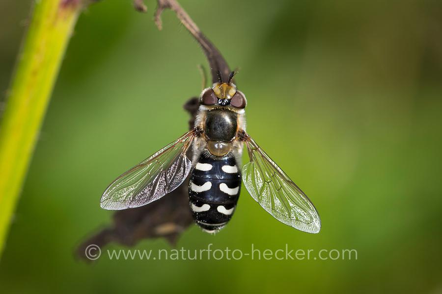 Späte Großstirnschwebfliege, Späte Großstirn-Schwebfliege, Weiße Dickkopf-Schwebfliege, Blasenköpfige Schwebfliege, Halbmondschwebfliege, Halbmond-Schwebfliege, Johannisbeer-Schwebfliege, Weibchen, Scaeva pyrastri, pied hoverfly, cabbage aphid hover fly, female, Le Syrphe pyrastre