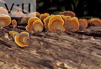 Shelf or Bracket Fungi on a decaying log ,Podoscypha,.