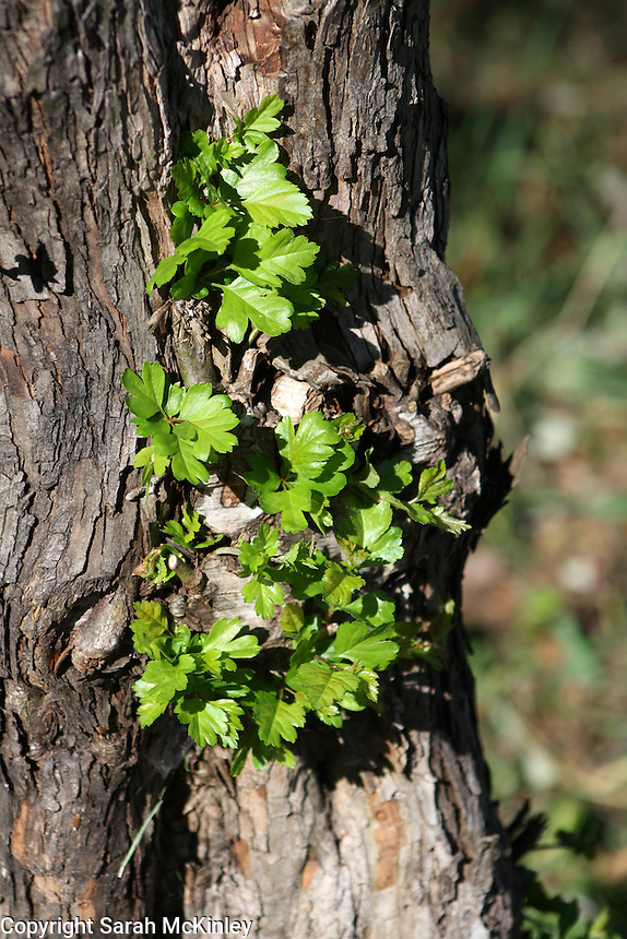 Young leaves growing from the trunk of a hawthorne tree outside of Willits in Mendocino County in Northern California.