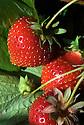 Strawberry 'Symphony', late June.
