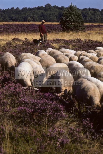 Europe/France/Limousin/23/Creuse/Gentioux Berger et son troupeau de brebis sur le  Plateau de Gentioux - Lande de  bruyère  en fleurs<br /> PHOTO D'ARCHIVES // ARCHIVAL IMAGES<br /> FRANCE 1980