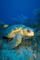 Loggerhead turtle, Caretta caretta, Florida, Atlantic ocean