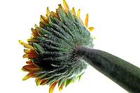 Flores. Gerbera desfolhada ( Gerbera x jamesonii hybrida). SP. Foto de Manuel Lourenço.