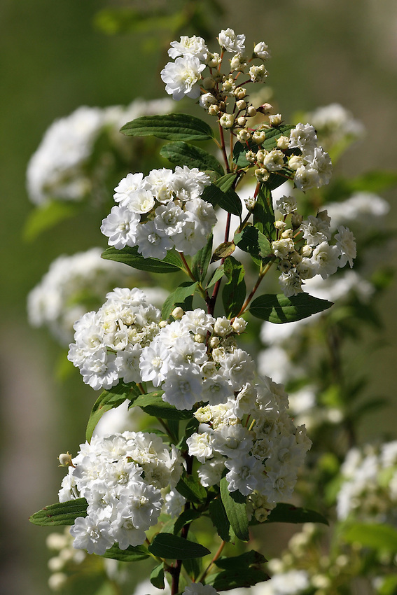 Spiraea or meadowsweet, is a genus of about 80 to 100 species of shrubs in the family Rosaceae, subfamily Spiraeoideae.