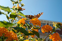 Butterfly on lantana flowers in front of Swalm Engineering building. (photo by Megan Bean / © Mississippi State University)