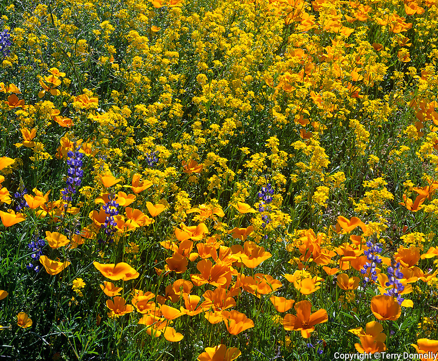 Organ Pipe Cactus National Monument, AZ: Mexican gold poppies with Coulter's lupine and bladderpod on the spring desert floor