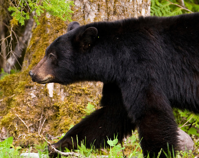 A black bear seen in Callaghan Valley, British Columbia, Canada, on May 29, 2008.  Photo by Gus Curtis.