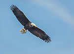 Adult Bald Eagle looking for fish in the Mississippi River