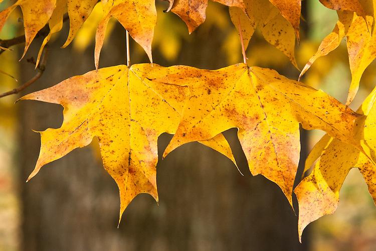 Autumn foliage of Miyabe's Maple (Acer myabei), early November.