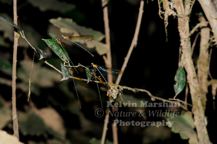 A shot late at night whilst on a nocturnal walk through the rainforest of a group of Sleeping Dragonflies. Ankarana reserve - Northern Madagascar.
