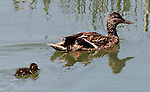 Duckling and Mother Duck, Upper Newport Bay.