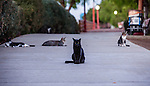 A group of community cats who rely on cat rescue volunteers to provide them with food and water in Antioch, California on August 28, 2014.  In 2014 the Antioch City Council passed a ban on the feeding of community cats on public property.  In August, 2014, a cat rescue volunteer was cited $500.00 for feeding the cats.  Photo/Victoria Sheridan