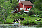 Cows enjoy being in or near the water as temperatures go well into the 90's Monday afternoon, July 20, 2015, at the Mill Pond in Stafford. (Jim Michaud / Journal Inquirer)