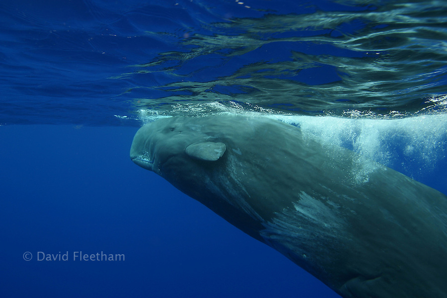 The sperm whale, Physeter macrocephalus, is the largest of all the toothed cetaceans.  Males can reach 60 feet in length.  Hawaii.