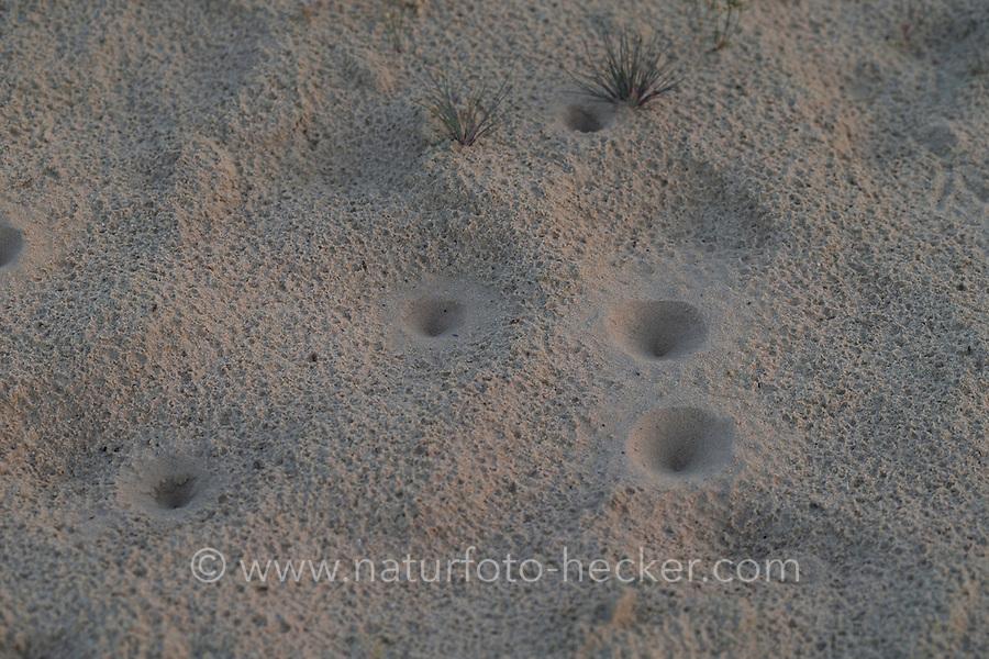 Ameisenlöwe, Ameisenlöwen, Ameisen-Löwe, Ameisenjungfer, Myrmeleontidae, Fangtrichter im Sand einer Binnendüne, Larve, Larven, antlions, antlion, ant-lion, larva, larvae