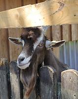 Ziege wartet auf Futter - Werdum 24.07.2020: Haustierpark Werdum