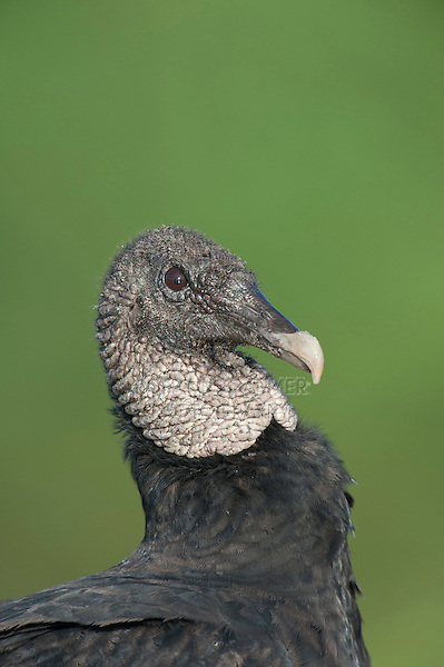 Black Vulture (Coragyps atratus), Dinero, Lake Corpus Christi, South Texas, USA