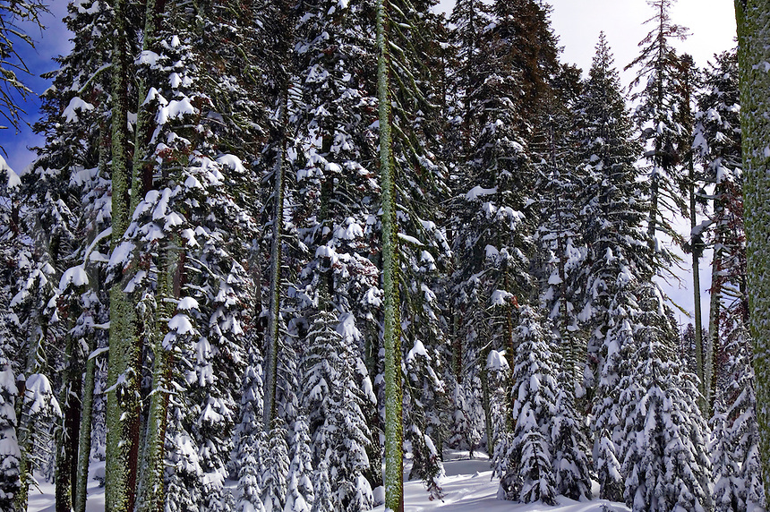 Tall trees with snow Yosemite National Park, California