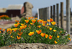 California poppies in the Salinas Valley