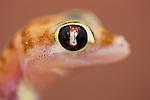 Namibia;  Namib Desert, Skeleton Coast, webfooted gecko, Palmato gecko (Pachydactylus rangei) on sand dune