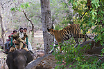 17 months old Bengal tiger cub on rock looking at tourists on elephant back, early morning, dry season