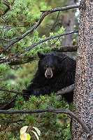 Black bear relaxing in a tree inGrand Teton National Park