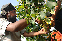 COMUNITA' SIKH NELLA FOTO UN UOMO DURANTE LA VENDEMMIA LAVORO PASSIRANO 14/08/2007 FOTO MATTEO BIATTA<br /> <br /> SIKH COMMUNITY IN THE PICTURE A MAN DURING THE GRAPE HARVEST WORK PASSIRANO 14/08/2007 PHOTO BY MATTEO BIATTA