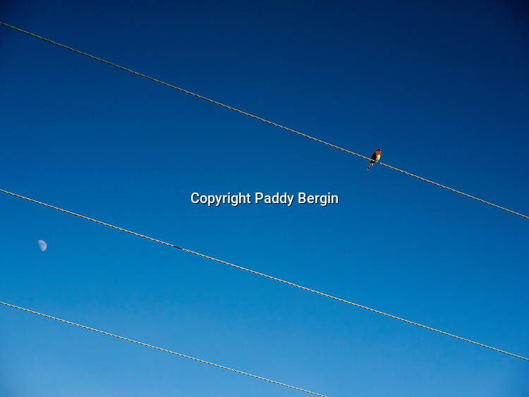 Robin sitting on a power line with the moon visible in the sky,European Robin (Erithacus rubecula),small insectivorous passerine bird,Old World flycatcher,red or orange breast,redbreast,robin redbreast,red throat,diurnal,gardeners friends,associated with Christmas,