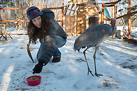 "Andrea Weimer, a volunteer for Alaska WildBird Rehabilitation Center in Big Lake Alaska, caretakes ""Sandy,"" a Sandhill Crane used for educational presentations. Sandy was imprinted on humans as a chick and  percieves Weimer and the staff at the rehabilitation center as members of her flock."