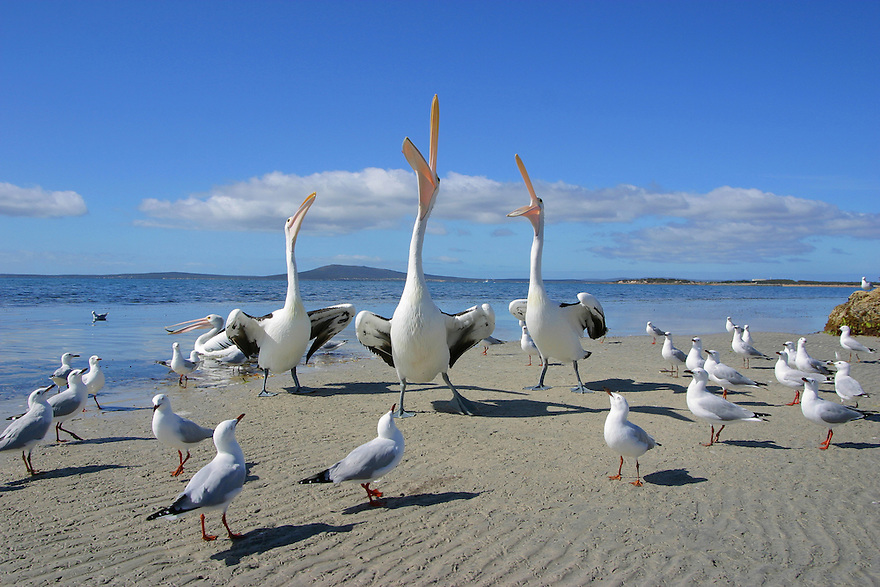 Babe Big Boy and Mr percival sing. Three Australian pelicans with seagulls gathered around