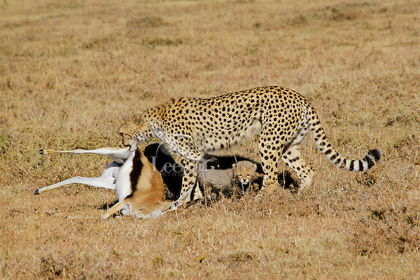 Cheetah (Acinonyx Jubatus) with kitten and gazelle.  Africa