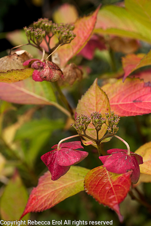 Hydrangea Lady Series 'Sita' showing autumn colour