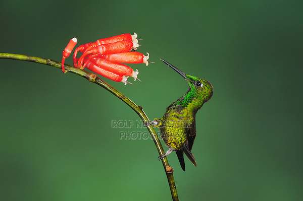 Empress Brilliant (Heliodoxa imperatrix), male perched next to flower,Mindo, Ecuador, Andes, South America