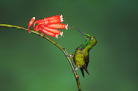 Empress Brilliant (Heliodoxa imperatrix), male perched next to flower,Mindo, Ecuador, Andes, South America