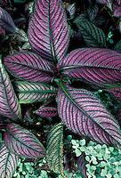 Shade garden beauty Persian shield, Strobilanthes dyerianus, with iridescent purple leaves