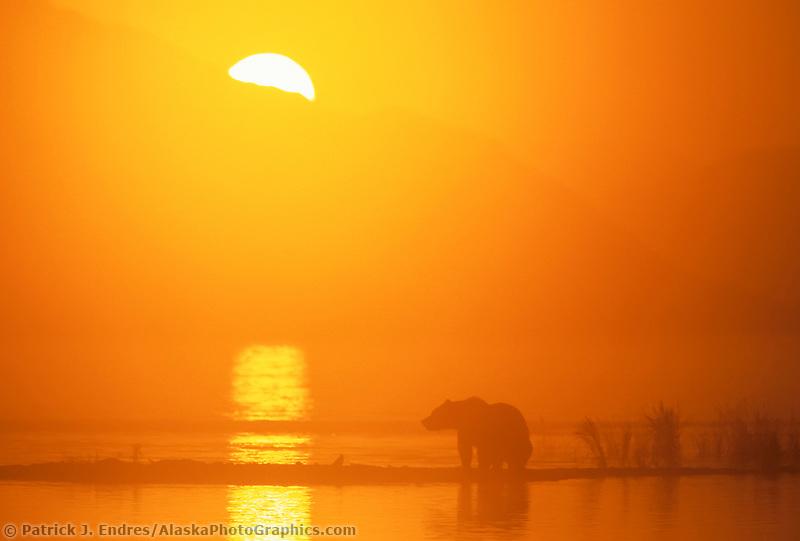Coastal brown bear in the orange morning sunrise on beach of Naknek Lake in Katmai National Park, Alaska.