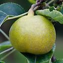 Asian pear 'Nijisseiki' (Pyrus pyrifolia 'Nijisseiki'), early September. Sometimes known as the '20th Century Pear'.