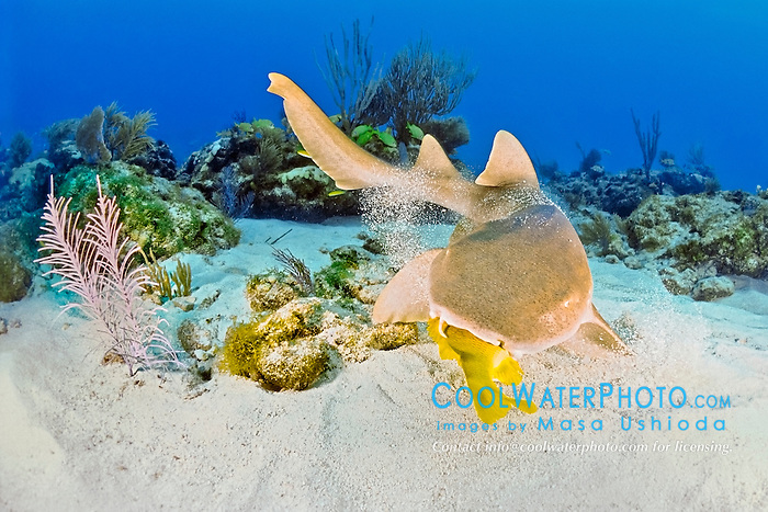 nurse shark, Ginglymostoma cirratum, feeding on grunt, Key Largo, Florida Keys National Marine Sanctuary, Florida, USA, Caribbean Sea, Atlantic Ocean