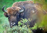 Bison, The Netherlands