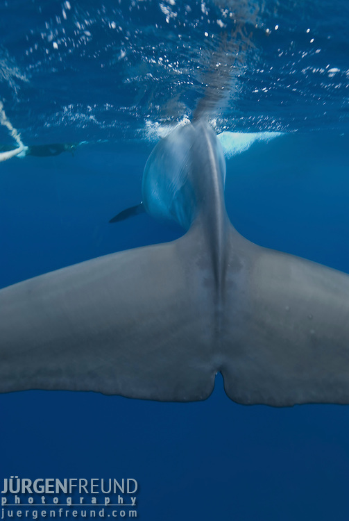 Dwarf minke whale passing a snorkler holding on the minke line of the Undersea Explorer (Balaenoptera acutorostrata)