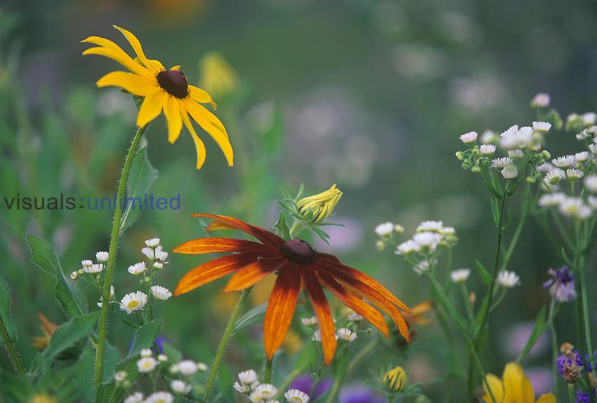 Meadow wildflowers, Black-eyed Susan ,Rudbeckia hirta, and Gloriosa Daisy ,Rudbeckia gloriosa, Eastern USA.