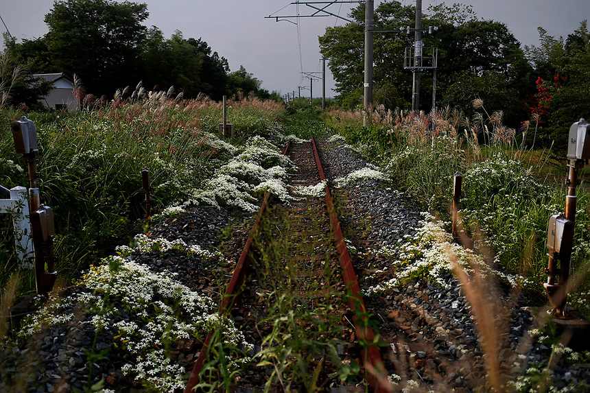 Wild flowers and other vegetation grow over train line in the evacuated town of Namie in Fukushima prefecture September 14, 2013. Namie's more than 20,000 residents can visit their homes once a month with special permissions but are not allowed to stay overnight inside the exclusion zone. A total of 160,000 people had been forced to leave their homes around Daiichi plant after the government ordered the evacuation following the nuclear disaster in March 2011.  REUTERS/Damir Sagolj (JAPAN)