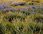 Carrizo Plain National Monument, CA<br /> Backlit spring flowers in the desert mornng sun